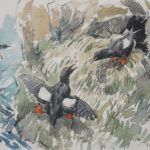 Black Guillemots - 'Tysties'