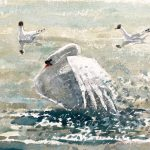 Mute Swan with Black-headed Gulls 2003