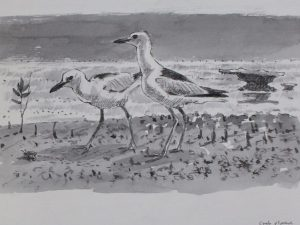 Crab plovers by John Busby