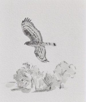 Honey Buzzard by John Busby