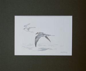 Long-tailed Skua by John Busby