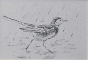 side view of Pied Wagtail walking in the rain by John Busby