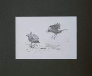 Ravens standing over dead mouse by John Busby