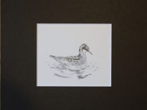 Red-necked Phalarope, female swimming in still water by John Busby