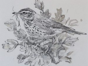Redwing in perched on twig with nesting material in beak by John Busby