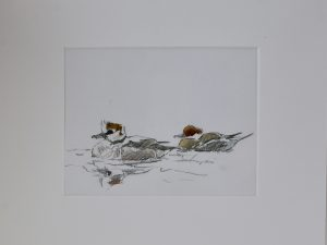 two female smew swimming on still water by John Busby